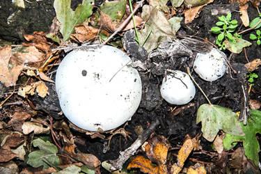 White fungi by slingeraar