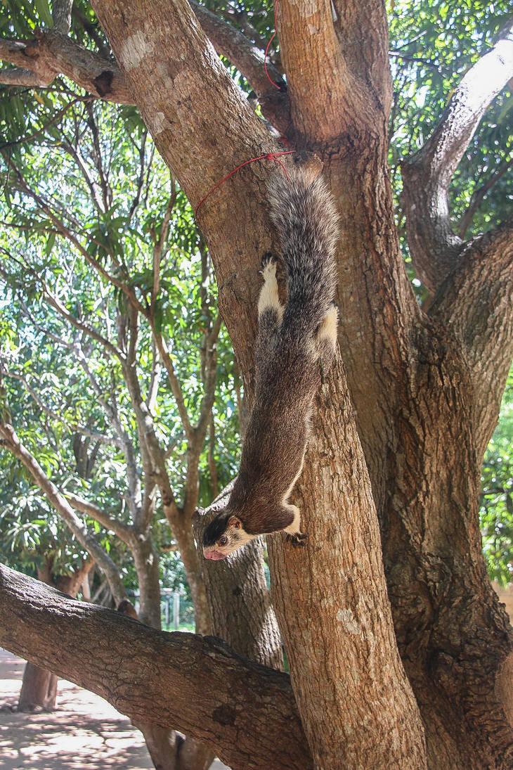Large squirel Sri Lanka in a tree by slingeraar