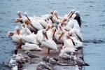 Pelicans Ahoy