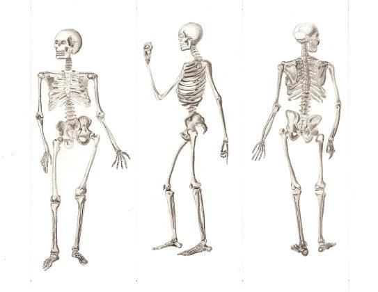 skeletal system by ejello42 on DeviantArt