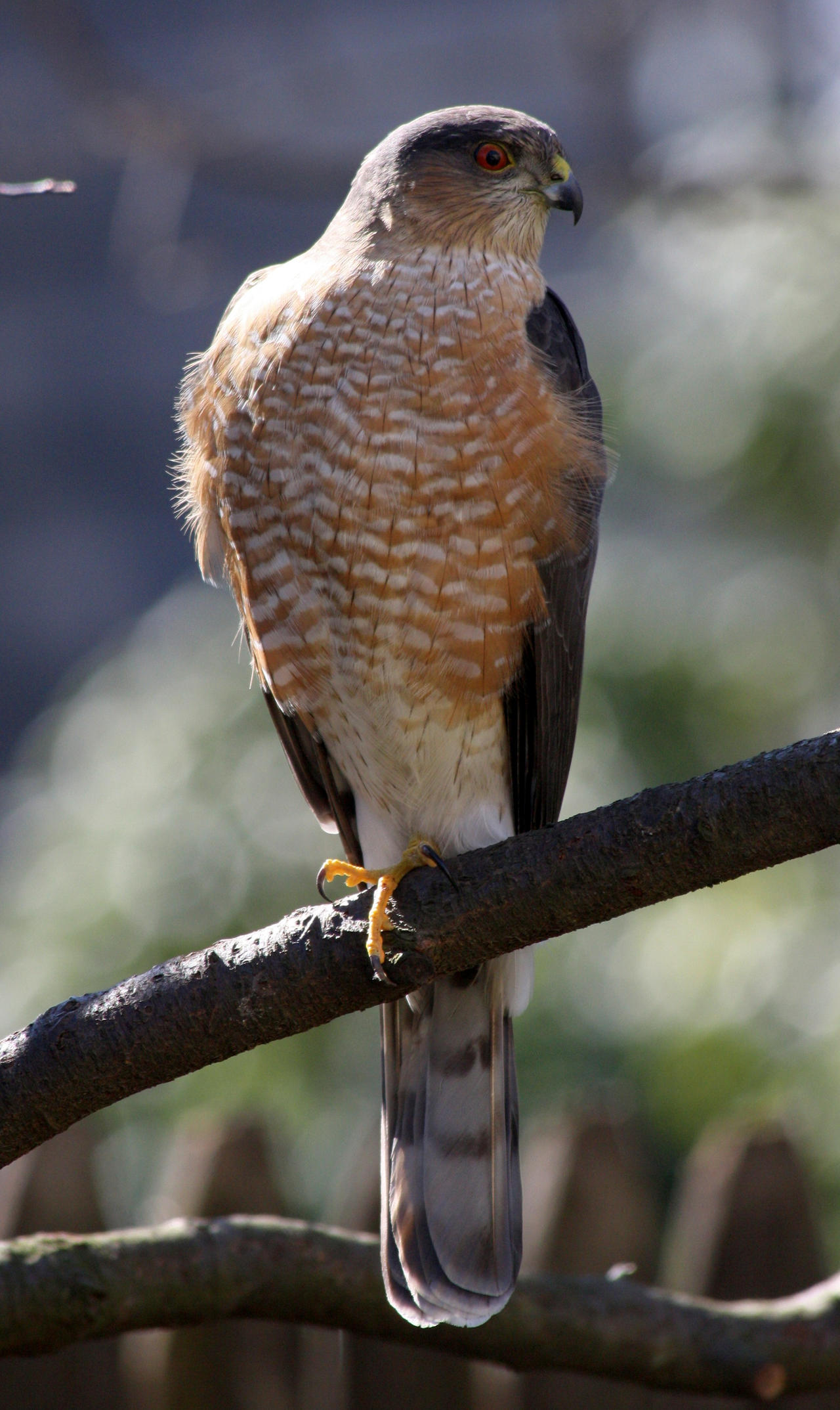 Sharp-shinned Hawk by BirdyLee