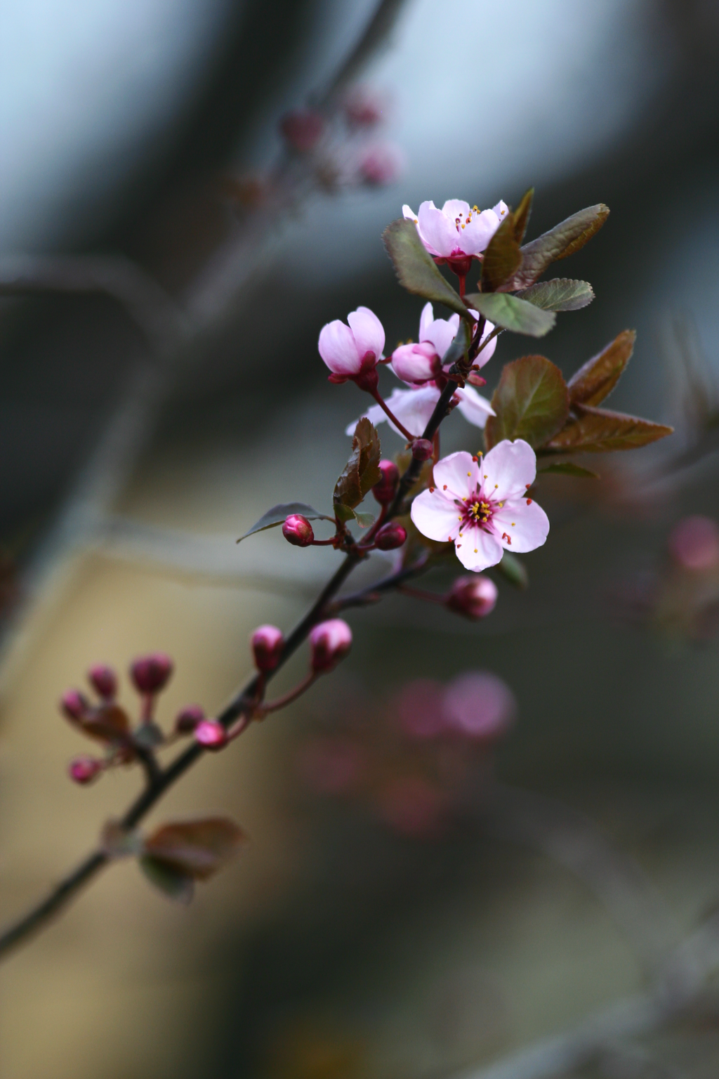 Purple Plum Blossom by BirdyLee