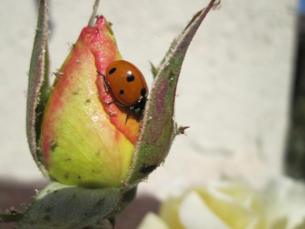 Rose's Ladybug by A1r2i3e4l5
