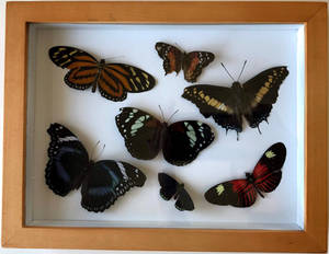Pinned Butterflies