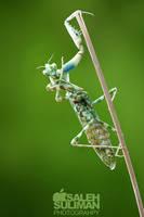 Mantis by Isaleh