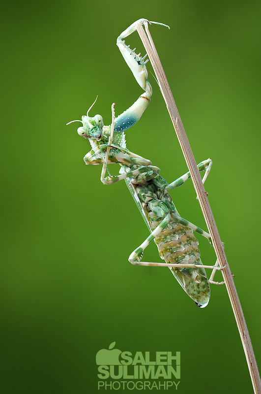 Mantis by Isaleh