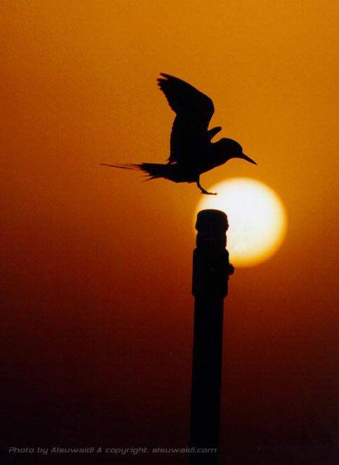 Sunset Bird by Alsuwaidi