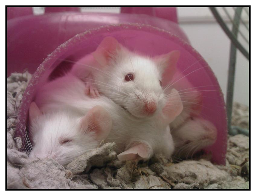 Petco Rats Mice at Petco by Nyaas...