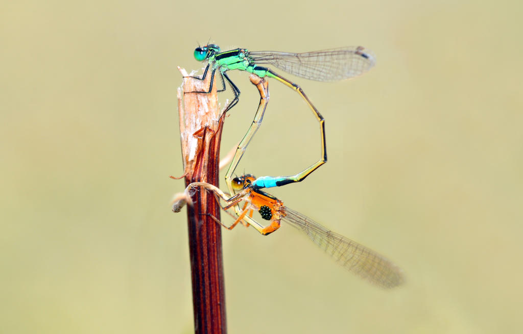 Damsel and Eggs by Enkphoto