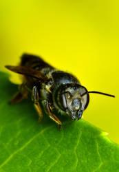 Megachilidae by Enkphoto