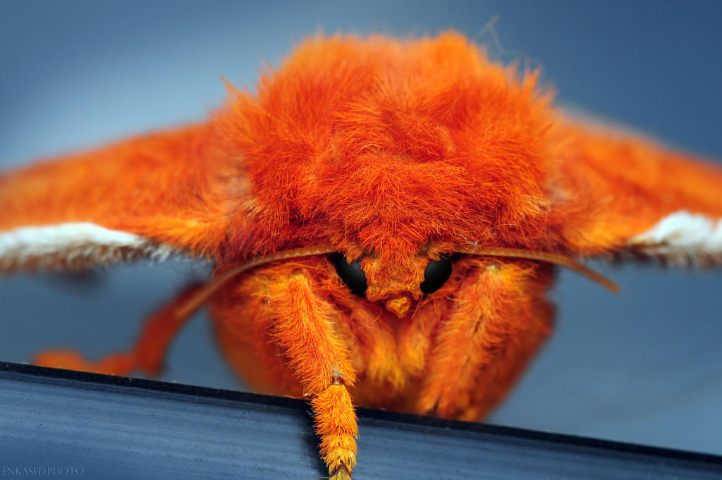 Io Moth by Enkphoto