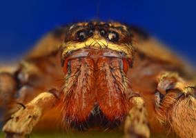 Heteropoda venatoria by Enkphoto