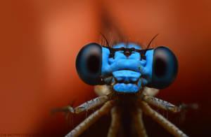 Curious Bluet by Enkphoto