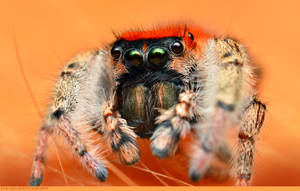Phidippus Whitmani 2 by Enkphoto