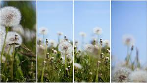 Dandelions, kites, wind