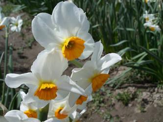 Daffodils by FarynLeCoty