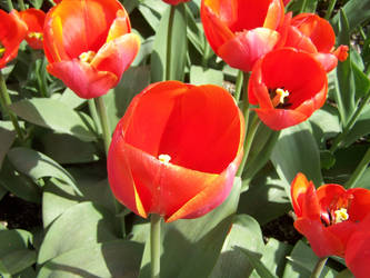The Tulips Stand Arrayed by FarynLeCoty