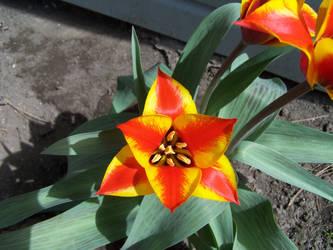 Geometric Tulip by FarynLeCoty