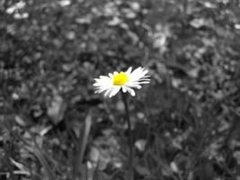 Gaensebluemchen by mdosch