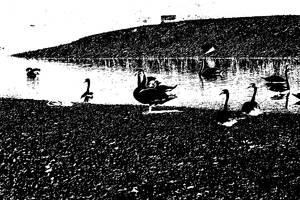 Black Swan by mdosch