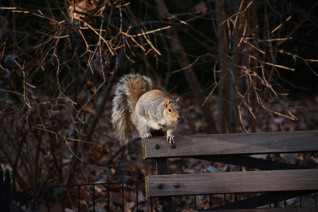 New York - Squirrel by Pyroguy24