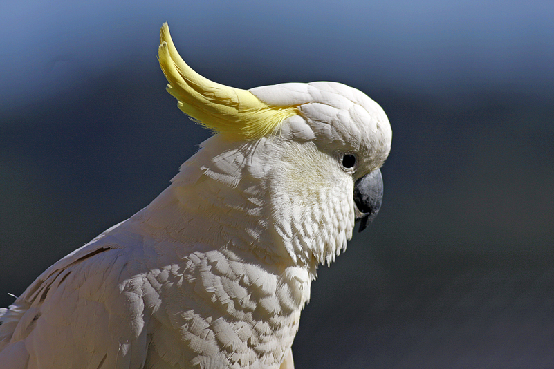 Sulphur Crested Cockatoo 16 by chezem
