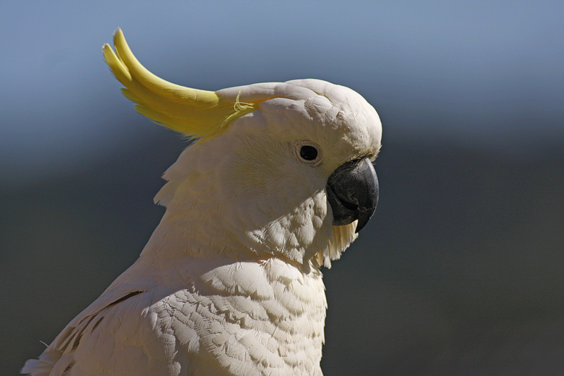 Sulphur Crested Cockatoo 17 by chezem