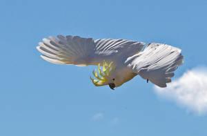 Sulphur Crested Cockatoo 150