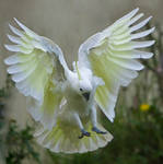 Sulphur Crested Cockatoo 157