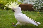 Sulphur Crested Cockatoo 158