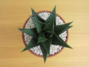 Haworthiopsis Limifolia