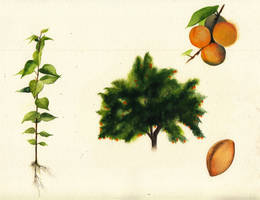 Life of an Apricot tree