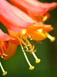 Orange Bells by IndigoMidnight