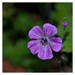 Violet square1 by MacsBlack