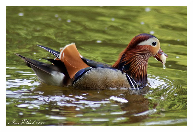Swimming Duck by MacsBlack