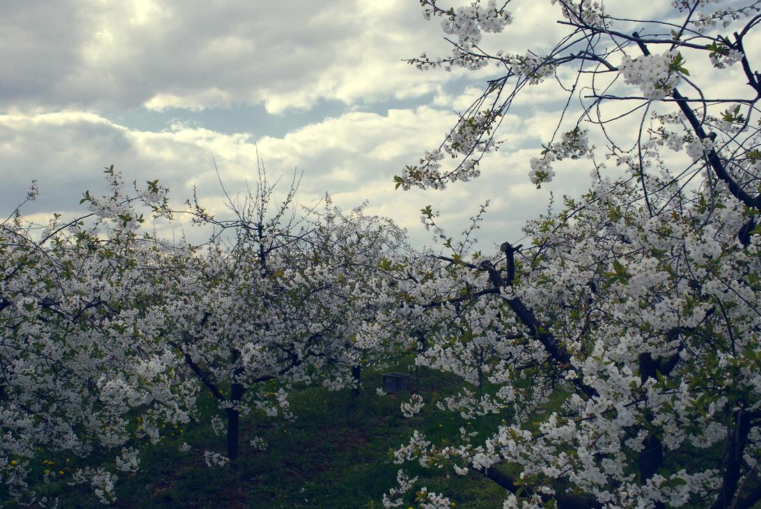 .:Cherry trees:. by lena8913