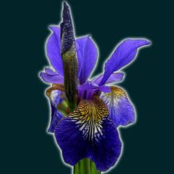 iris 1 by feldrand