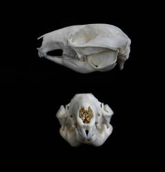 Western Brush Wallaby skull by Exifia