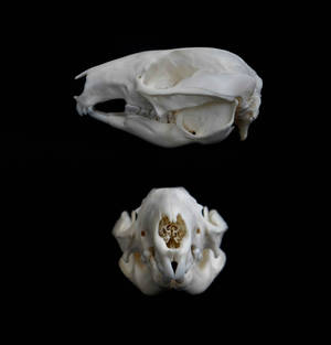 Western Brush Wallaby skull