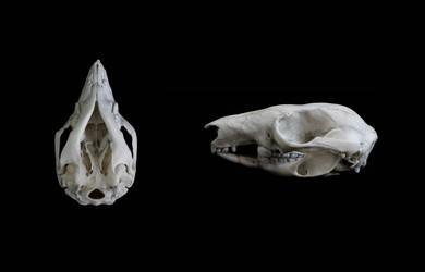 Woylie skull by Exifia