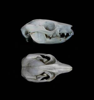 Koomal skull