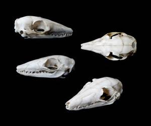 Numbat skull