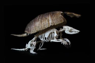 Big hairy armadillo skeleton