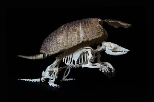 Big hairy armadillo skeleton