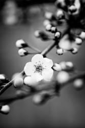 Barn Blossom by snakstock