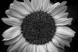 Sun Flower by snakstock