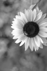 Sun Flower II by snakstock