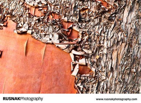 Madrone Tree II