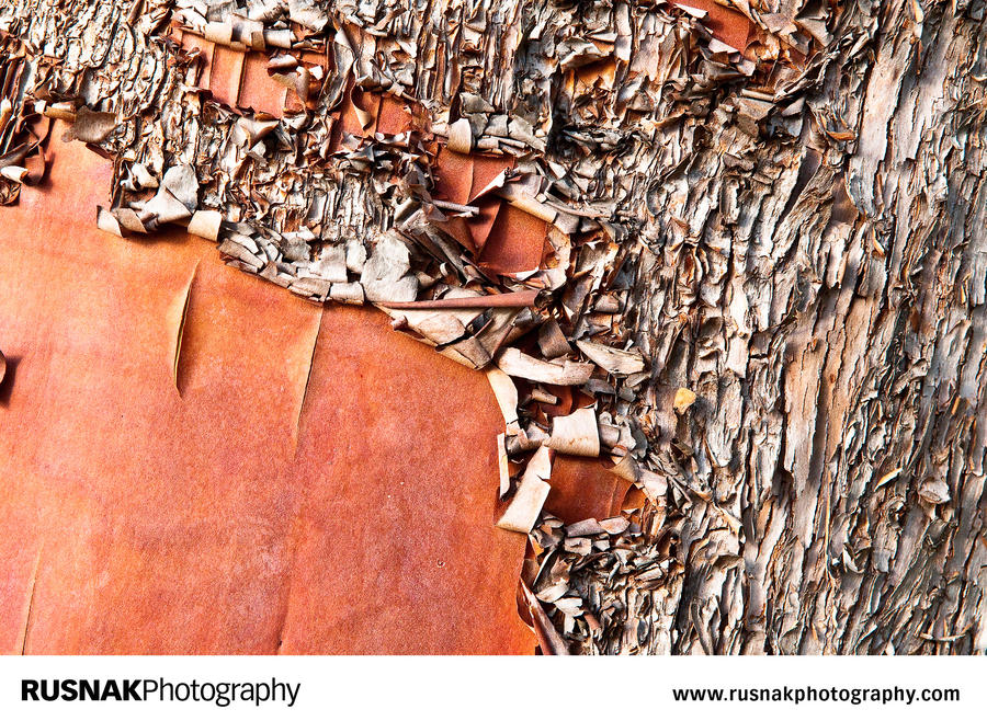 Madrone Tree II by snakstock