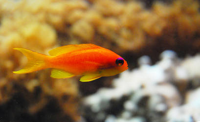 Gold fish by iisjahstock